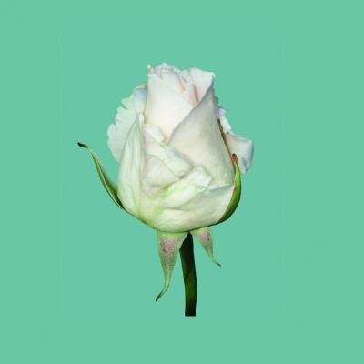 KLEINE ROSE GANZ GROSS - ein Geschenk für jede Wand